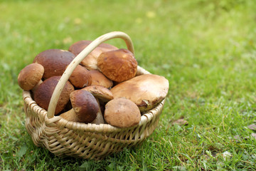 harvest of forest delicacies/ full basket of white mushrooms is on a green lawn