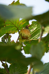 huzelnuts on the tree growing