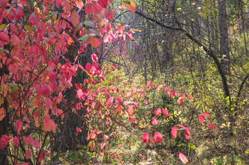 Autumn forest, shrub with red leaves.