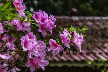 Photo sur Plexiglas Azalea The azalea flowers is blossoming in spring