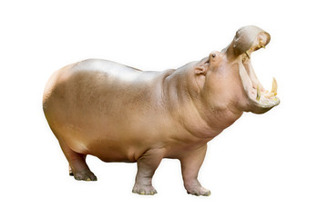 The hippopotamus is semi-aquatic (Hippopotamus amphibius) Isolated on white background
