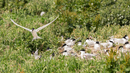 Sandwich Tern seabirds nesting with young