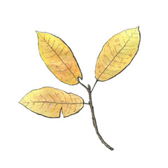 hand drawn watercolor isolated yellow leaves on white background