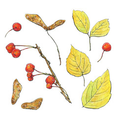 hand drawn set of watercolor isolated yellow leaves with red berries on white background
