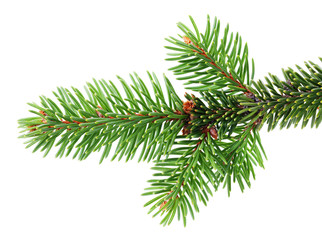 Fir or Spruce Branch Isolated on White