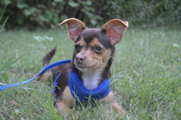 Brown chihuahua puppy in the grass