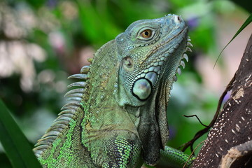 A green iguana poses for its portrait in the gardens
