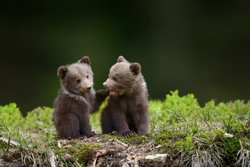 Two young brown bear cub in the fores Fototapete