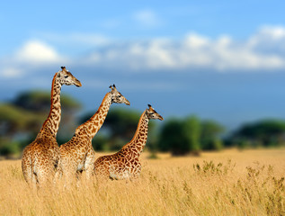 Foto op Plexiglas Giraffe in the nature habitat, Kenya, Africa