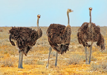Poster Struisvogel Three Female ostriches standing on the dry plains in etosha national park, namibia