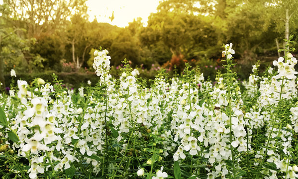 White Angelonia Flowers in the Garden, Morning light At North of Thailand.
