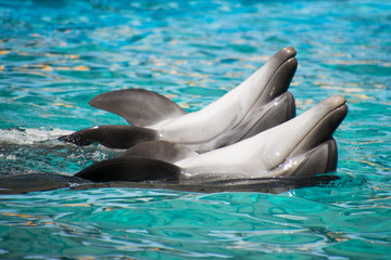 Dolphins swimming on their backs