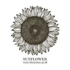Sunflower vintage engraved illustration. Sunflower hand drawn. Vector illustration