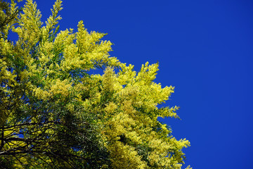 Yellow flowers and green leaves of a mimosa tree (acacia dealbata) on a blue sky