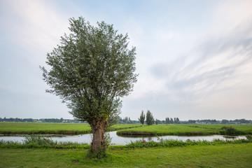 Willow tree in Dutch polder landscape