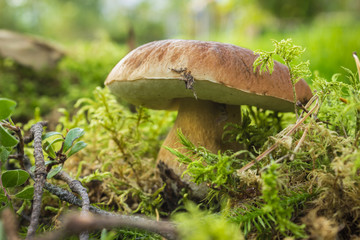 Ripe mushroom boletus among forest vegetation