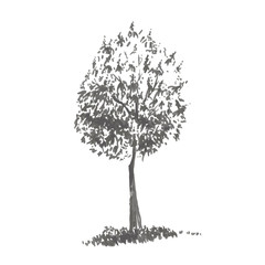 Hand-drawn tree, sweet chestnut. Realistic image in shades of gray, sketch painted with ink brush