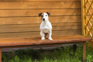 Jack Russell on the bench