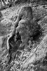 Baumstumpf, Hintergrund, frost, schwarzweis