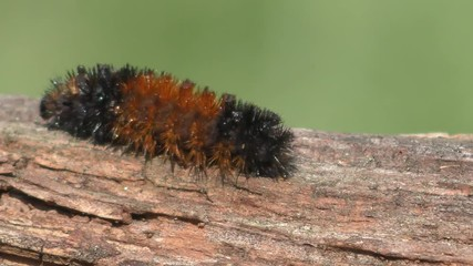 Fotoväggar - Banded Woolly Bear Caterpillar (Pyrrharctia) becomes an Isabella tiger moth