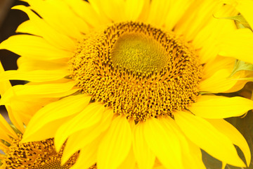 Bright yellow sunflower, closeup