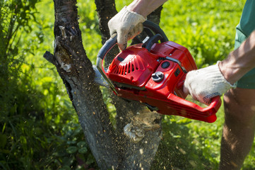 A man with a chainsaw is sawing a tree on a plot (cherry)
