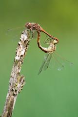 Paarung von Libellen