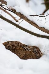 Feldhase sitzt in einer Schneemulde