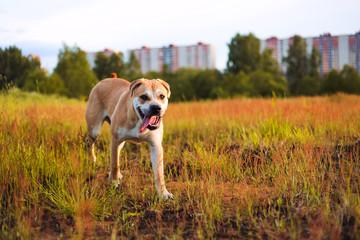 Cute dog runing at camera