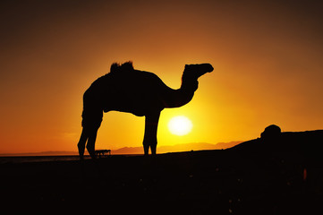 Sunrise and camel in Dahab, Egypt