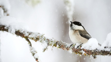 Willow tit in winter