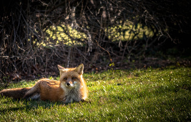 Red Fox relaxing in the afternoon sunshine in early spring