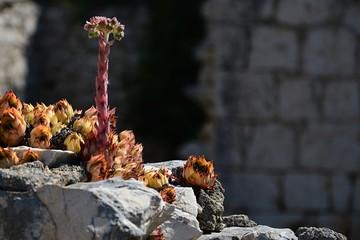 Houselleks Sempervivum tectorum plants growing on old murral of decaying building in Croatia, Adriatic