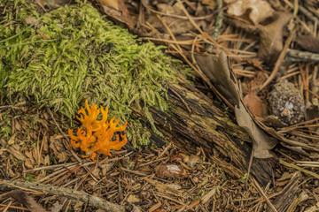 Orange Ramaria flava in summer dark forest