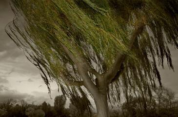 Willow tree windblown