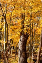 Autumn in an Indiana forest with tree trunk in paths center.