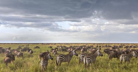 Zebras In The Wildebeest Herd