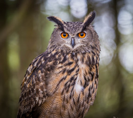 Tuinposter Uil Eurasian Eagle Owl