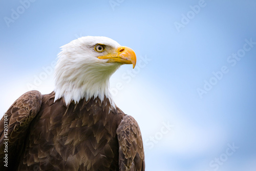 Fototapete Bald Eagle