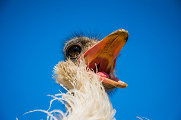Funny restless noisy African ostrich