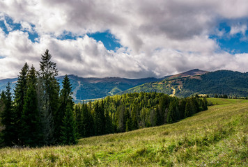 spruce forest on hillside on cloudy day. gorgeous weather in Carpathian mountains in autumn