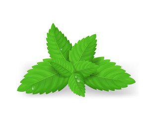 Realistic Detailed Fresh Green Mint Leaves. Vector