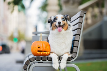 happy australisn shepherd dog lying down on a bench with a carved pumpkin