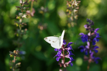 Butterfly on a flowering sage