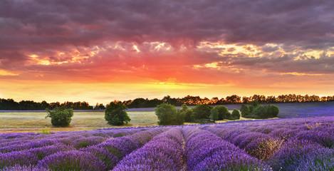 Twilight lavender field
