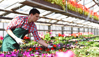 Blumenhandel: Gärtner bei der Arbeit im Gewächshaus mit blühenden Zierpflanzen