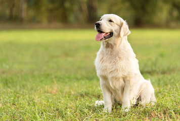 Beauty Golden retriever dog