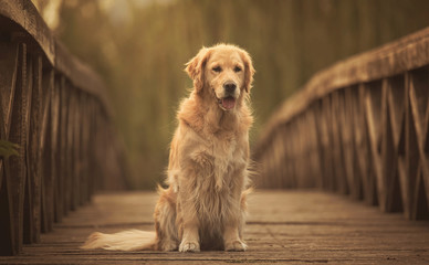 Golden retriever dog in the bridge