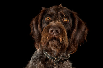 german wirehaired pointer on black