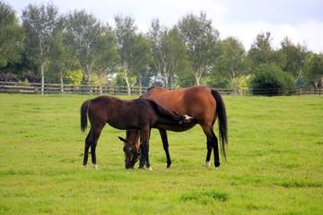 Rennpferde auf der Weide